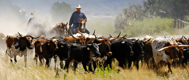 Cowboys herding cattle.